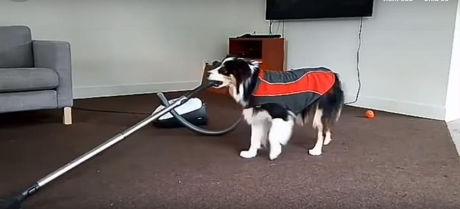 Cô chó đảm đang việc nhà
